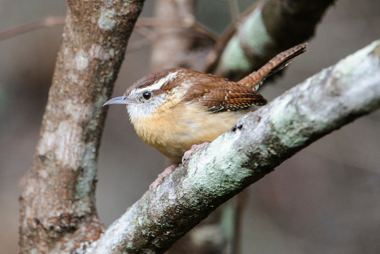Carolina Wrens are always fun to see.  They have a beautiful song and are active, lively little birds.