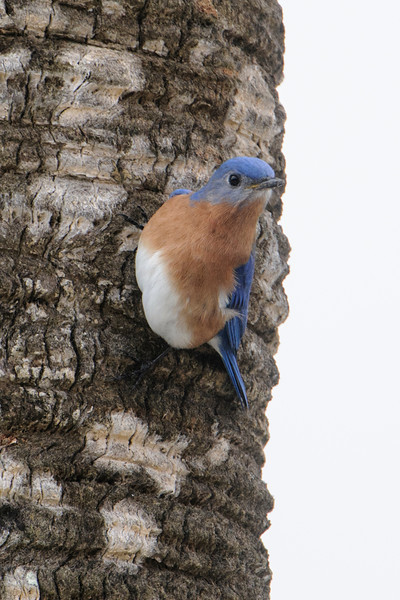 Here are some bird photos taken in Florida this past winter.  This Eastern Bluebird was at Salinas Park which is south of Port St. Joe.  It surprised me by clinging to the side of a palm tree.  It's certainly capable of clinging to a tree, but I just don't remember seeing a Bluebird do that before.  I'm used to seeing them land ON something, like a wire, fence post, or bluebird nest box.