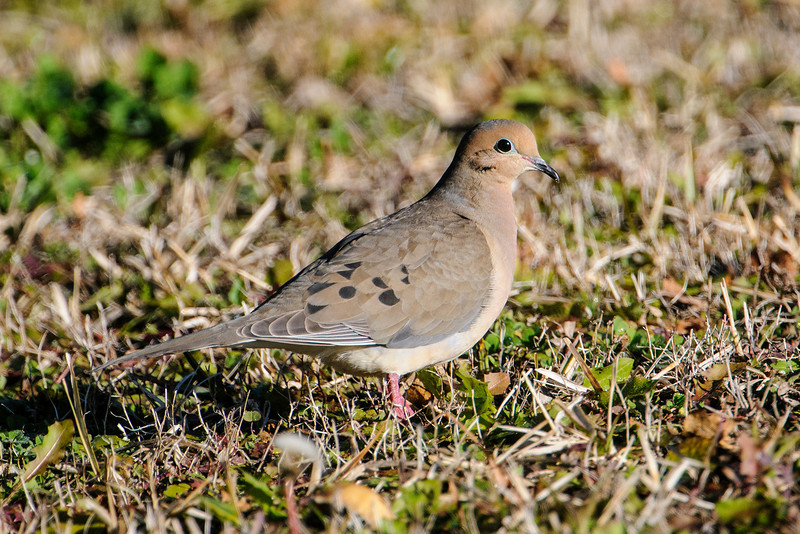 In LaFayette Park, I also saw Mourning Doves.