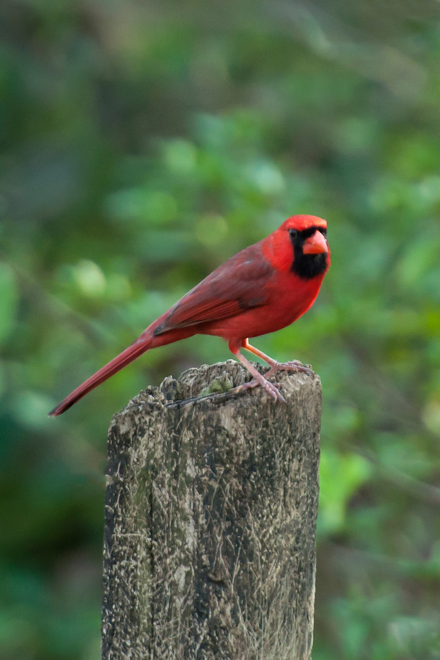 I always enjoy seeing Cardinals.  This one perched on a post at Native Nurseries in Tallahassee.