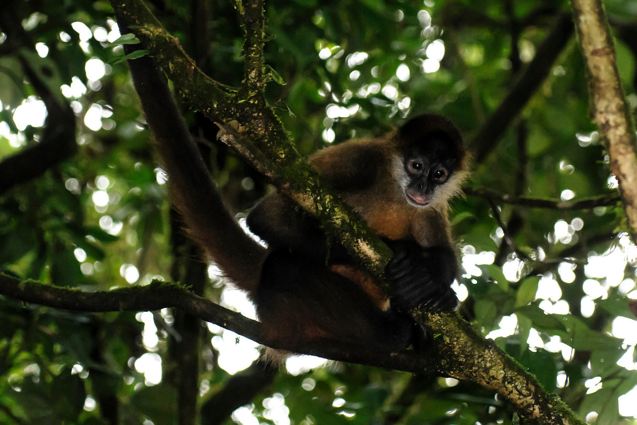 This is one of the Spider Monkeys that we saw on a hike at Arenal Observatory Lodge.  They very noisily moved through the trees above us.  Spider Monkeys are 14 to 26 inches tall but they have very long, thin arms and legs.