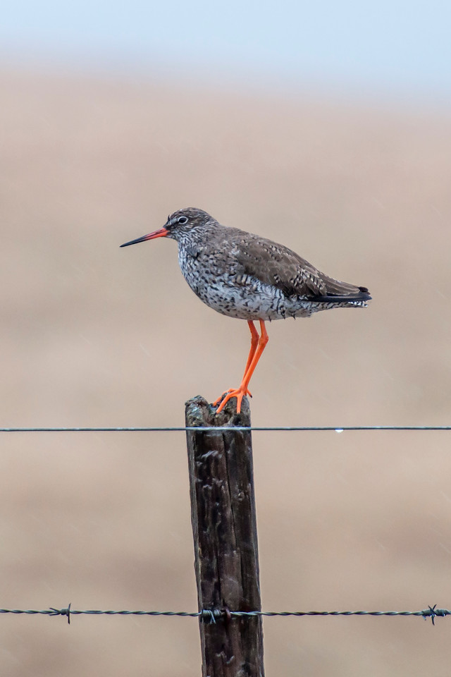 A Redshank is about the same size as a European Golden-Plover (above).  It's appropriately named, with those brightly colored legs.  This bird builds its nest in grasslands or marshes.  Most Redshanks leave for the winter and go to western Europe.  This photo was also taken on the Snæfellsnes Peninsula.
