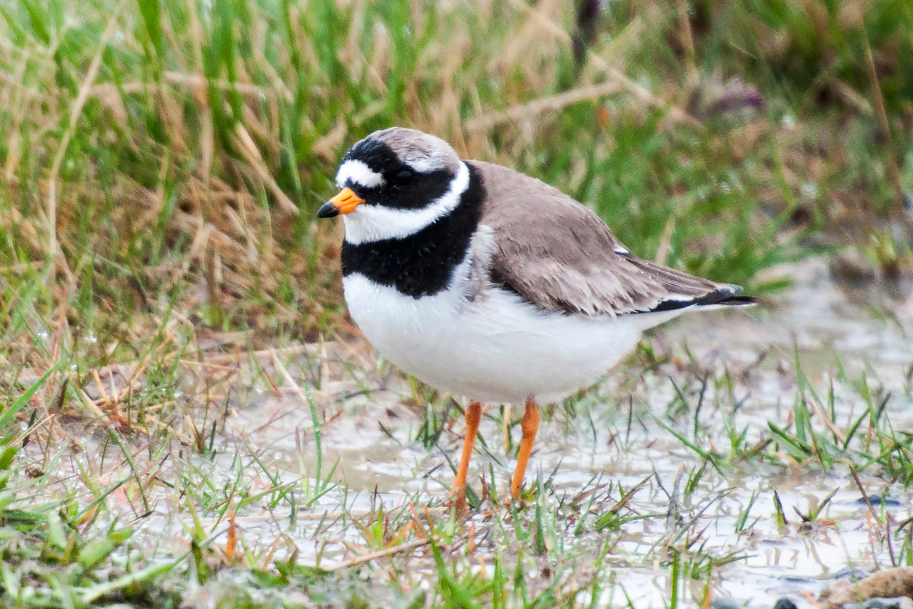 The Ringed Plover is a small shorebird, only 7½ inches tall.  It's almost identical in appearance to our Semi-palmated Plover.  This bird is only found in Iceland during the summer breeding season.  While it is most likely to build a nest by the sea, it could be found almost anywhere in the country.  In winter, Ringed Plovers migrate to southwestern Europe or western Africa.  This photo was taken on the Snæfellsnes Peninsula.