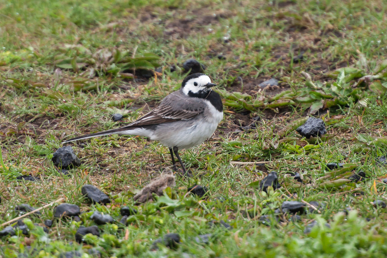 When we landed in Iceland and were walking from the plane to the terminal, the first bird species I saw was a White Wagtail.  This is a small songbird, about 7 inches long.  It's found almost everywhere in Iceland and tends to breed near people (farms, urban areas, and so on).  In winter it migrates to western Africa.  This photo was taken in the town of Hellnar.