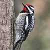This Yellow-bellied Sapsucker is clinging to a tree in our yard.  Both male and female sapsuckers have red on the tops of their heads but only the male has a red throat.  Sapsuckers drill neat rows of rectangular holes in the bark of trees.  In spring, when the sap starts flowing, these holes get filled with sap which attracts insects.  The sapsuckers, and early-arriving hummingbirds, visit these trees regularly for the sap and the insects.