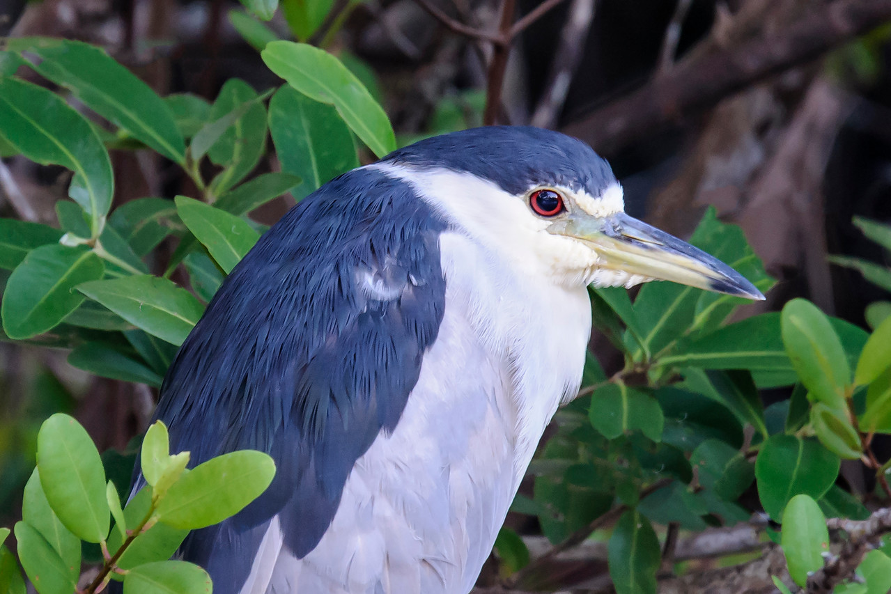 Prominent features of this adult Black-crowned Night-Heron are its red eyes and large, bi-colored bill.  Night-Herons feed mostly at night and I've read that red eyes make it easier to see in dim light.  Diana pointed out to me the white feathers growing down from under the bill.  There must be an area of skin that extends under the bill.
