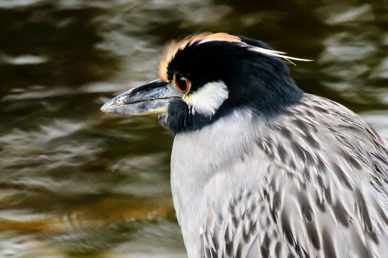 The streak of yellowish feathers on the head of this bird identifies it as an adult Yellow-crowned Night-Heron.  It also has red eyes.  Its bill seems to have lots of scratches and scrapes.  Also note the short white plumes on the back of its head.