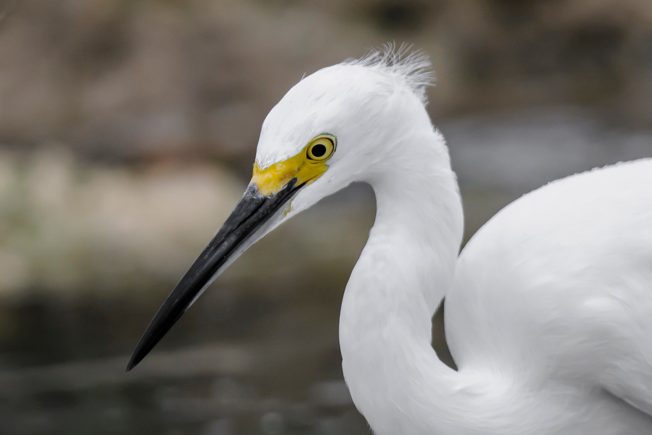 This Snowy Egret, photographed at Blind Pass, is focused on something in the water below.