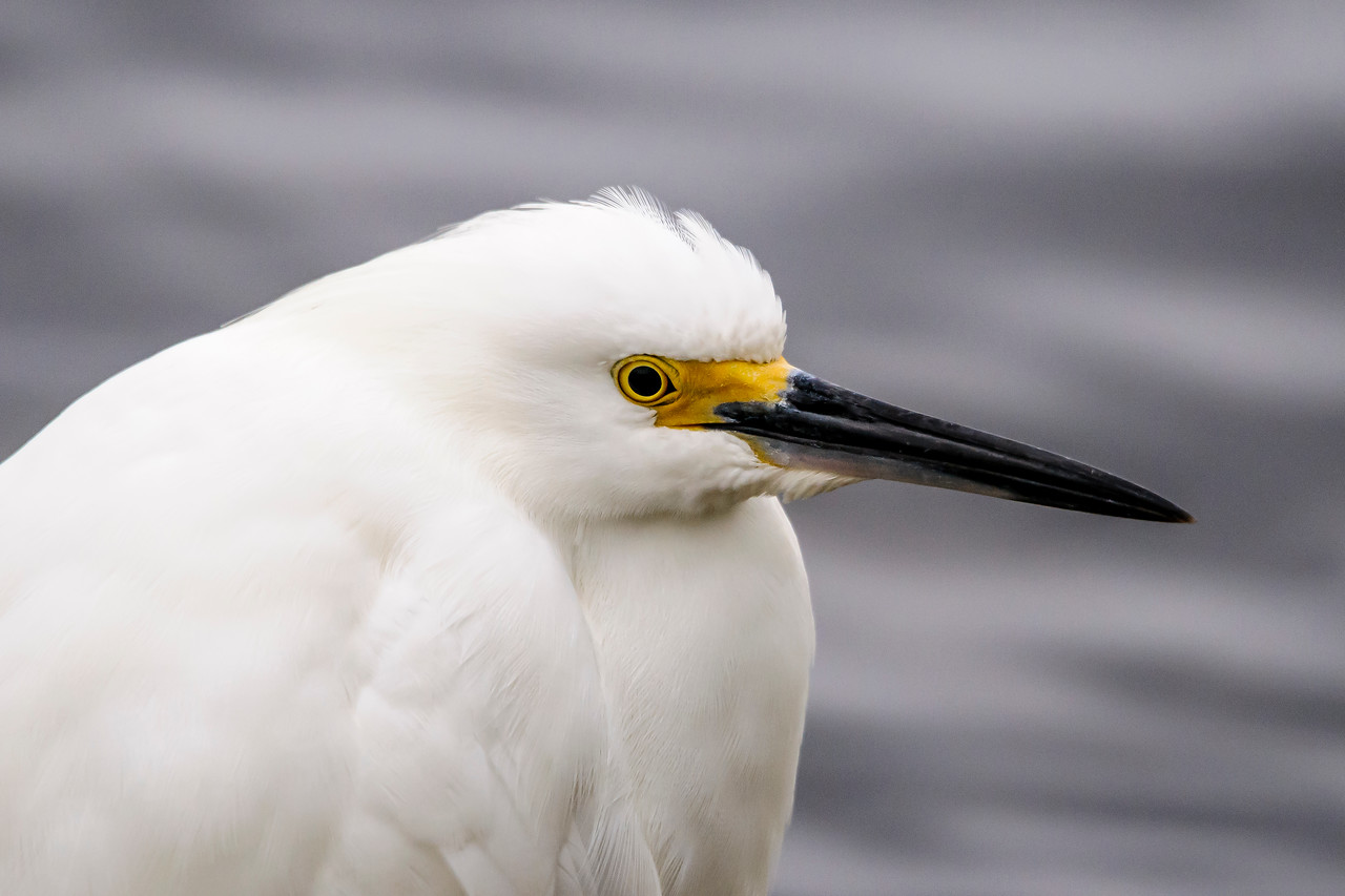 Here's a Snowy Egret in a resting position at Ding Darling.  It actually has a pretty long neck but, in this position, it seems to have no neck at all.  I still can't figure out how it tucks the neck in so it seems to disappear.
