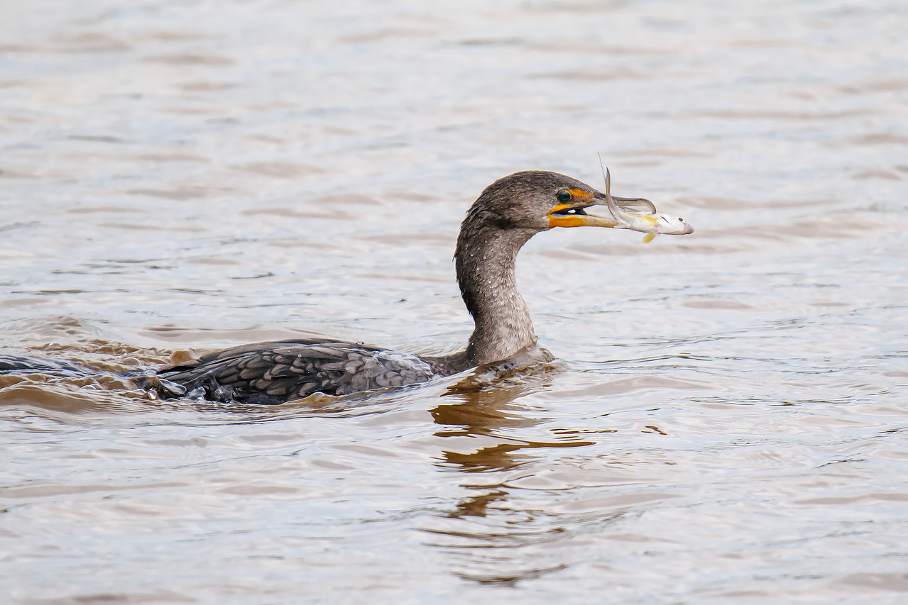 The Cormorant's sharply-hooked bill was very helpful in keeping a good grip on a slippery, struggling fish.