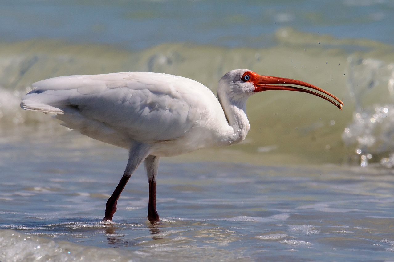 This White Ibis was foraging along the Gulf Coast near the cottage where we stayed on Sanibel Island.  I really like that bright red face and bill and the light blue eye.  It picked up a small mollusk with the tip of its long bill.  Now, the question is, how does it get that tidbit into its mouth and down its throat?