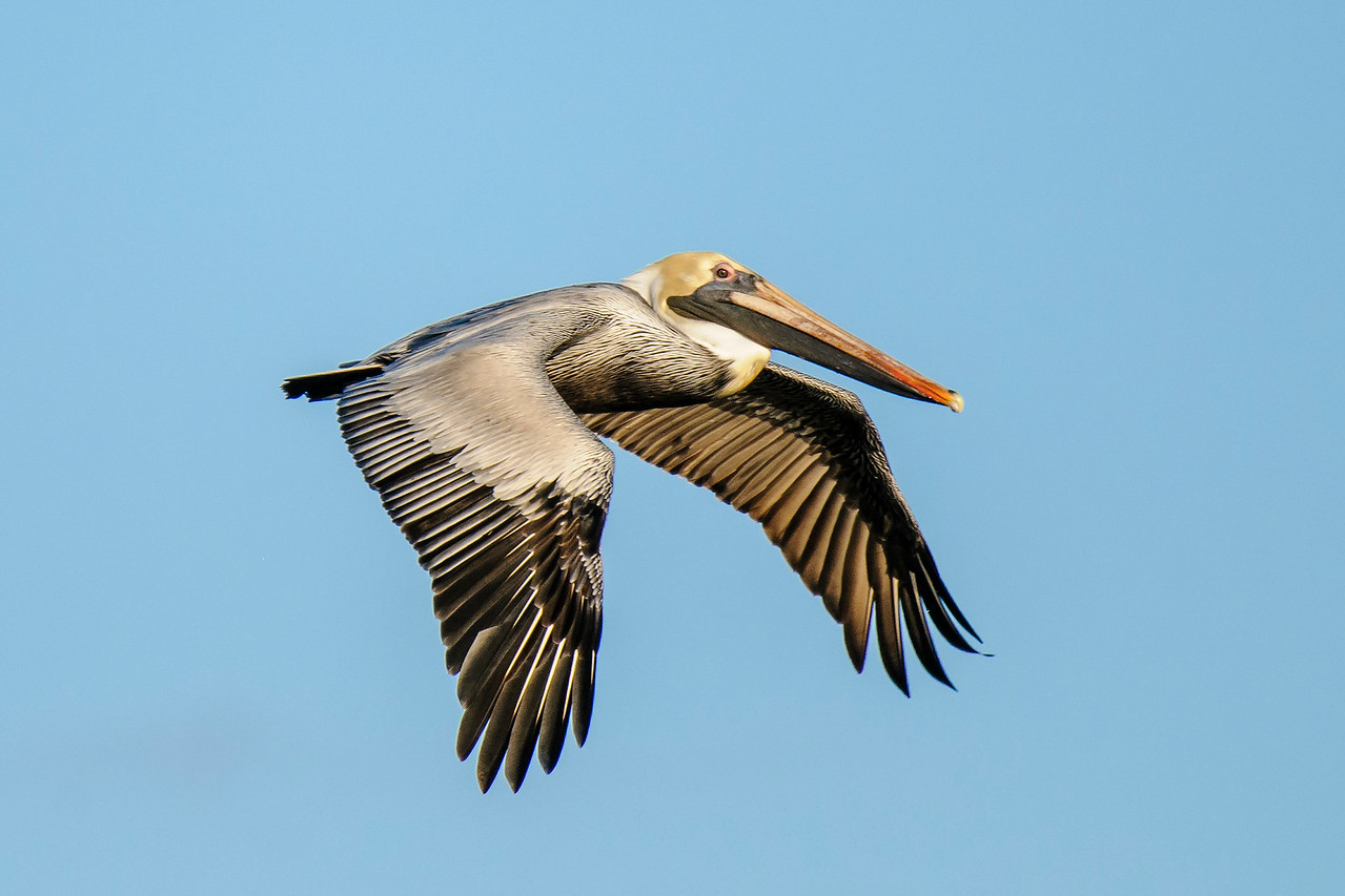 After it's in the air, the pelican is a very graceful flyer.  Its large wings allow it to soar for a long time.  The pelicans I was watching would soar from one side of the bay to the other until they spotted a fish in the water below.  Then they would fold their wings and dive like an arrow to catch the fish.  Another amazing sight is seeing a line of pelicans gliding along just a foot or two above the water.  They seem to be floating along on a cushion of air with only an occasional flap of those long wings.