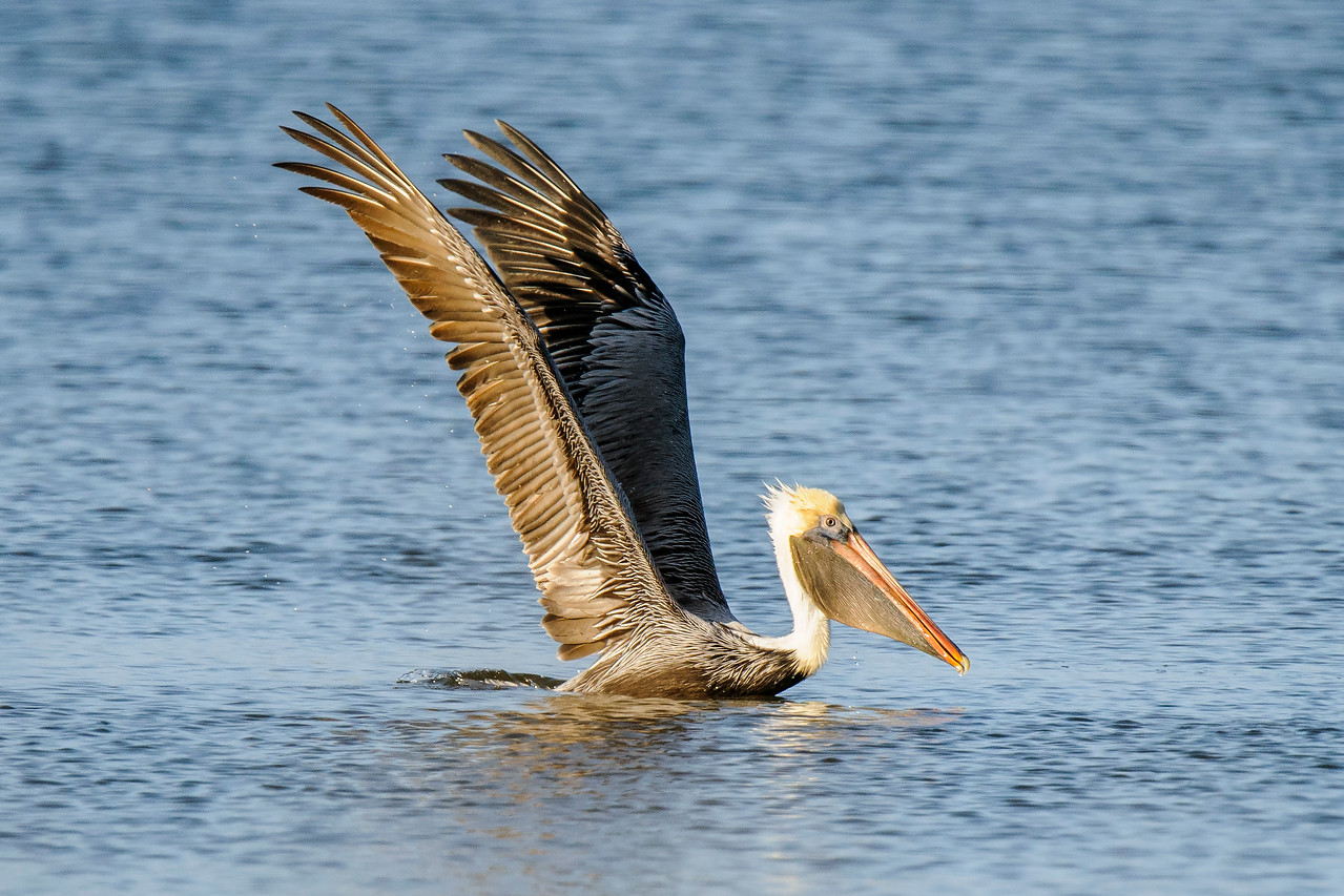 A pelican is a large bird and it takes a lot of effort to get airborne.  This is how it begins.  The pelican stretches those incredibly long wings high into the air to get a powerful first stroke.