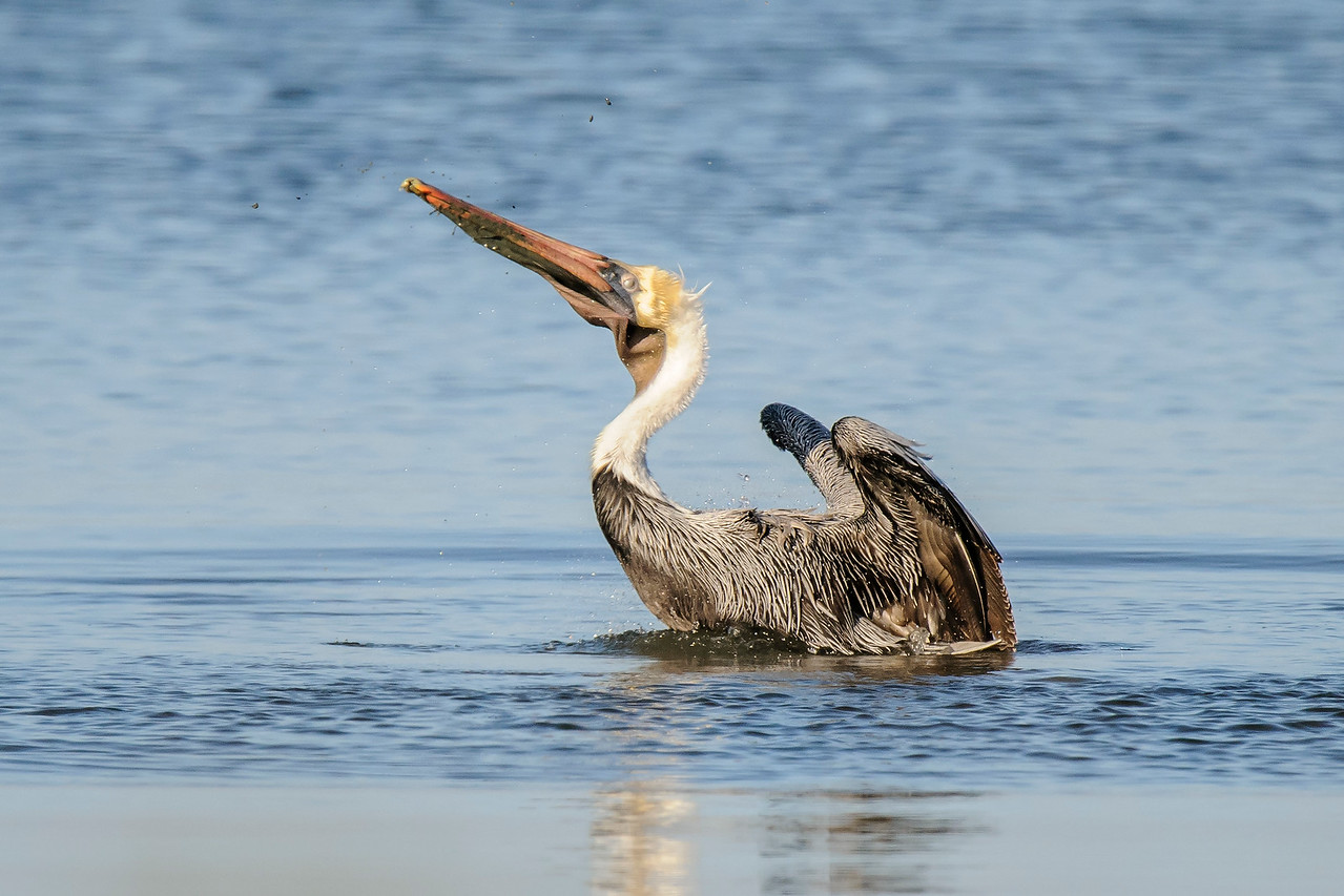 This pelican caught a fish and is throwing its head back to swallow it.  Look for the globs of mud flying through the air to the right and left above the bill.
