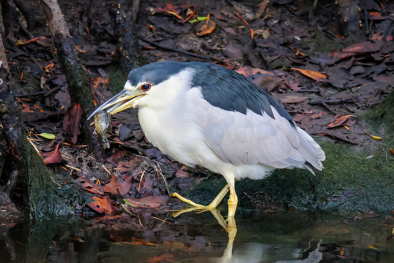 This Black-crowned Night-Heron was in one of the small pools along the wildlife drive.  Its catch looks like a small sunfish to me.