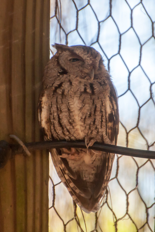 An Eastern Screech-Owl was one of the featured birds at the museum.  This owl is about 8½ inches tall and comes in two color variations: a red morph, shown in this photo, and a gray morph.