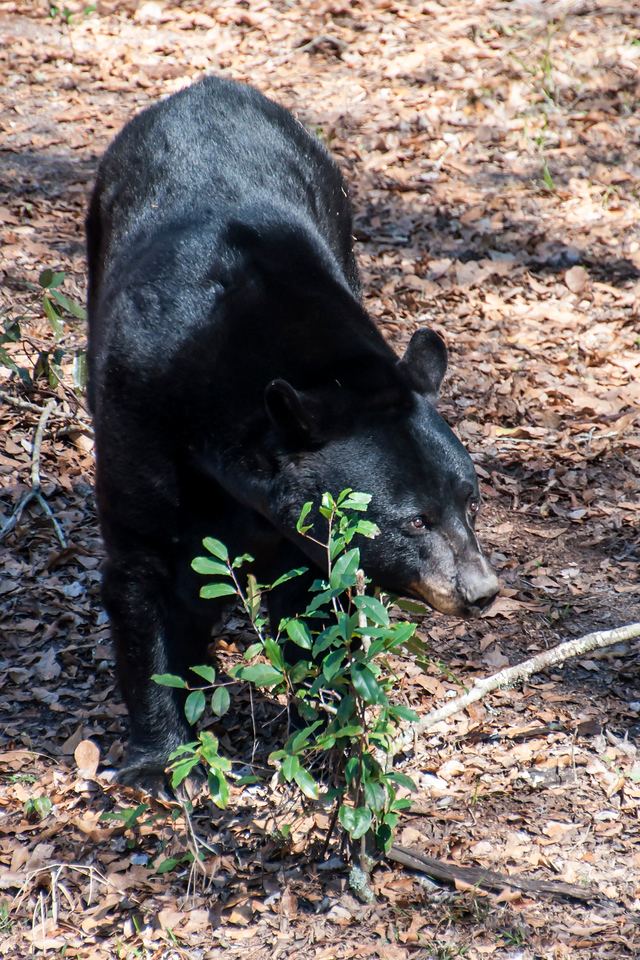 At the Tallahassee Museum, you can see animals native to north Florida.  This is the Florida subspecies of Black Bear (Ursus americanus floridanus).  It's found throughout Florida and in the southern parts of Georgia, Alabama, and Mississippi.  Before Florida was settled by Europeans, the bear population was estimated at 12,000.  They even lived in the Florida Keys.