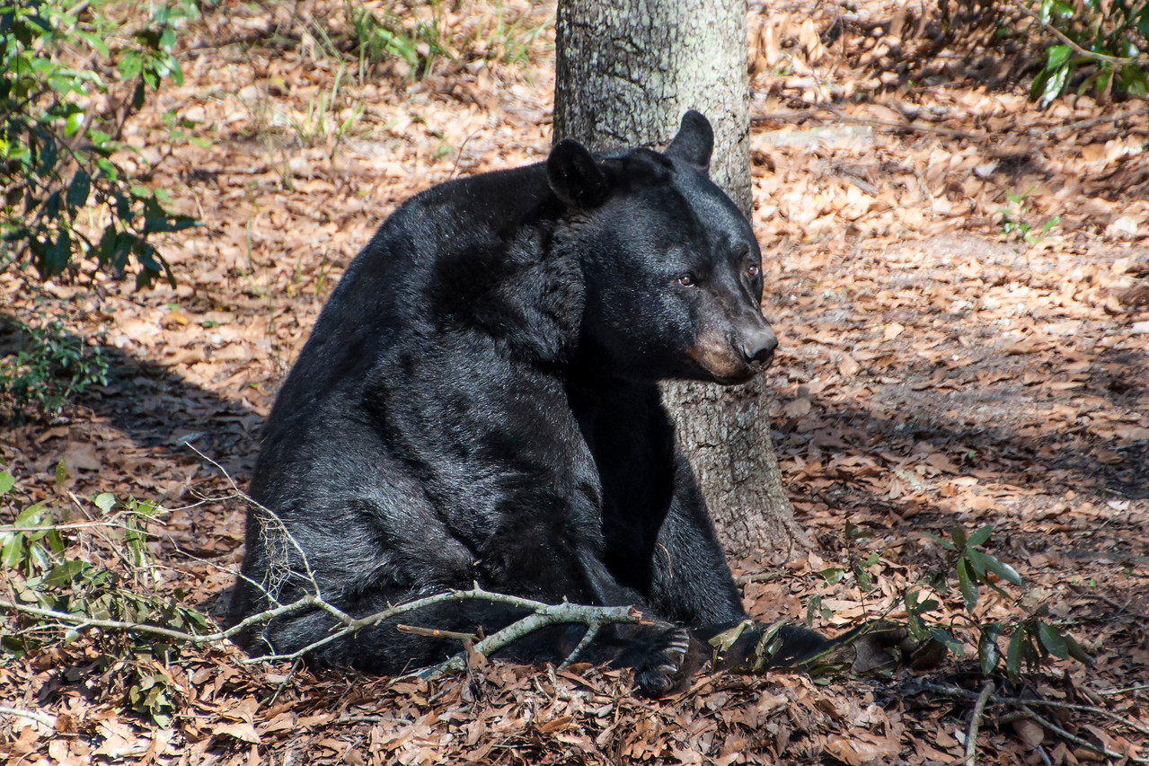 In the 1970s, only a few hundred Florida Black Bears were left.  Since then, the population has rebounded and is now estimated to be over 3000.  It has been illegal to hunt Black Bears in Florida since 1994.  In 2012, the Florida Fish and Wildlife Conservation Commission removed them from the state threatened species list.  Now, the biggest threat to Florida Black Bears is collisions with vehicles.