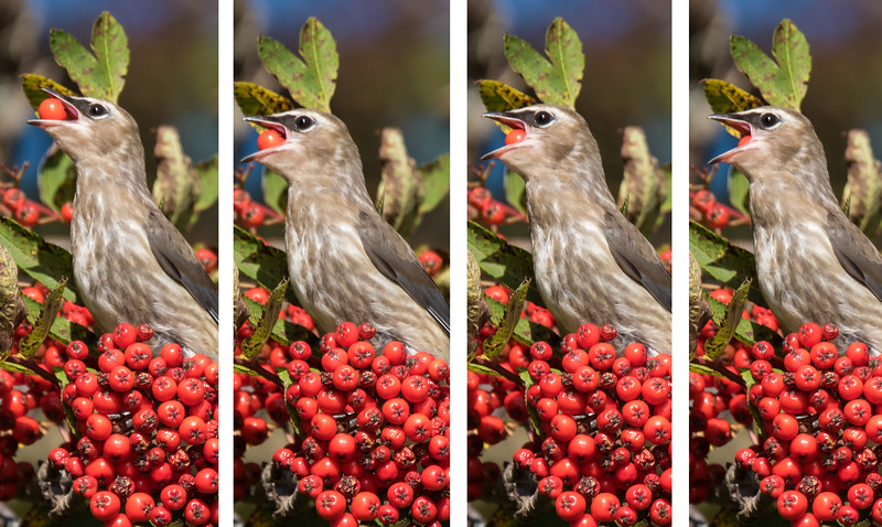 The rapid fire feature of my digital camera allowed me to capture four successive shots showing a waxwing swallowing a berry.