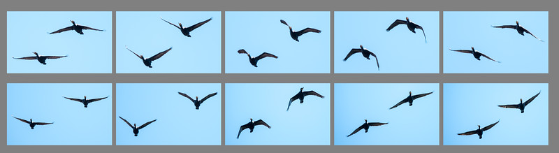 Today's digital cameras allow the photographer to take a burst of shots by just holding down the shutter button.  My camera can take up to 6 frames per second.  When a pair of Double-crested Cormorants flew over at Prince Edward Island National Park, I held the shutter button down hoping to get at least one good shot out of that series.  When I looked at these 10 consecutive photos, I was amazed at the similarity of the wing positions of both birds in each shot.  It looked like a synchronized flight performance.