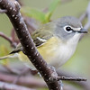 Vireos are small, mostly plain-colored birds and they usually stay hidden in the upper branches of trees. <br /> <br /> This is a Blue-headed Vireo and, as you can see, it is aptly named.  It also features prominent eye rings and a white band across the top of the bill.  Birders often say it looks like it has spectacles.  At 5½ inches it is a pretty small bird.  This photo was taken this spring along the North Shore in Cook County, MN.