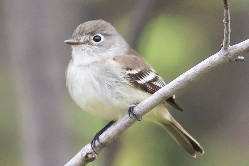 "This week I'm featuring birds that are not well-known by most people.  This Least Flycatcher is one of the 11 North American species in the genus Empidonax which means ""king of the gnats.""  They are all notoriously similar in appearance; little olive-gray birds with wing bars and eye-rings.  The best way to tell them apart is by their calls.  I did hear this one call so I'm confident that it is a Least Flycatcher.  Only 5 of the Empidonax flycatchers are likely to be seen in Minnesota.  This photo was taken in Lake County, MN, this spring."