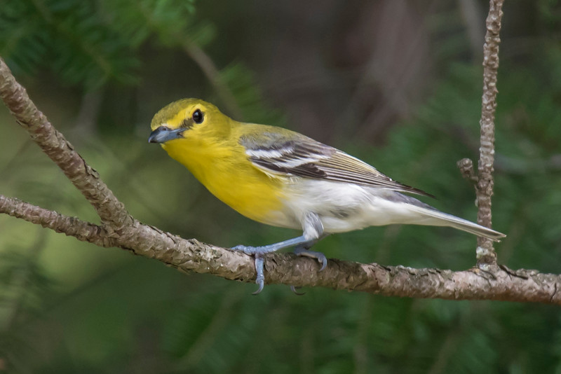 A more colorful member of the vireo family is the Yellow-throated Vireo.  It's still not easy to see, however, because it too stays hidden in the forest foliage.  Its nesting territory consists of the entire eastern half of the United States except southern Florida.  This photo was also taken in Itasca County, MN, during July, 2016.