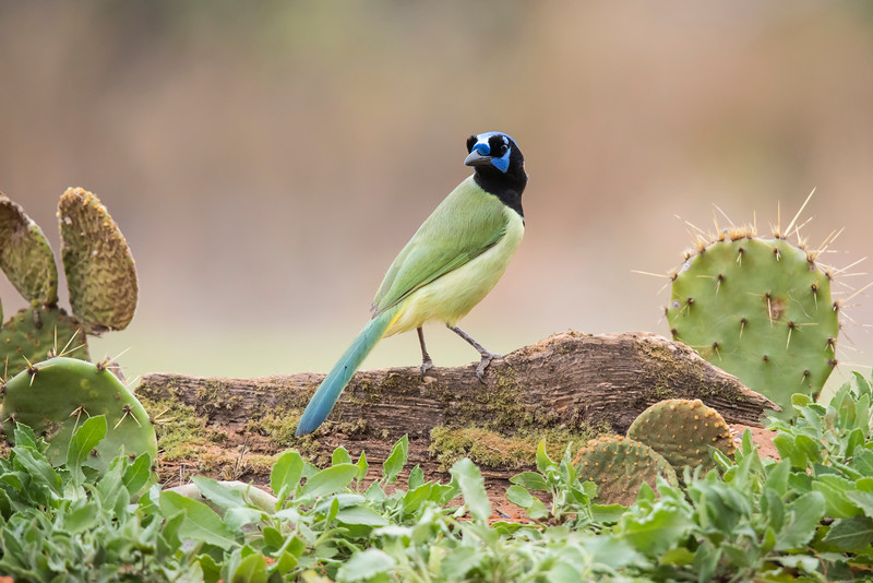 This photo captures all of the brilliant colors of a Green Jay.  You can see blue, white, black, yellow, and green plumage.