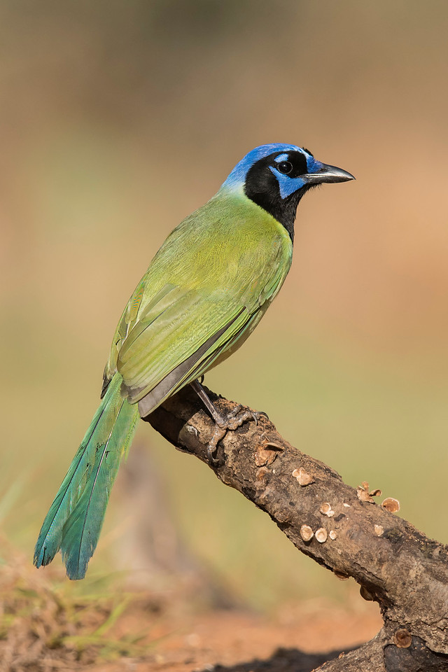 Green Jays are tropical birds.  In the United States, they are only found in the southern tip of Texas.