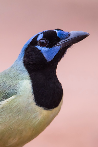 Here's a close-up photo of a Green Jay.  The black feathers above the eye stick up and make me think of eyebrows.