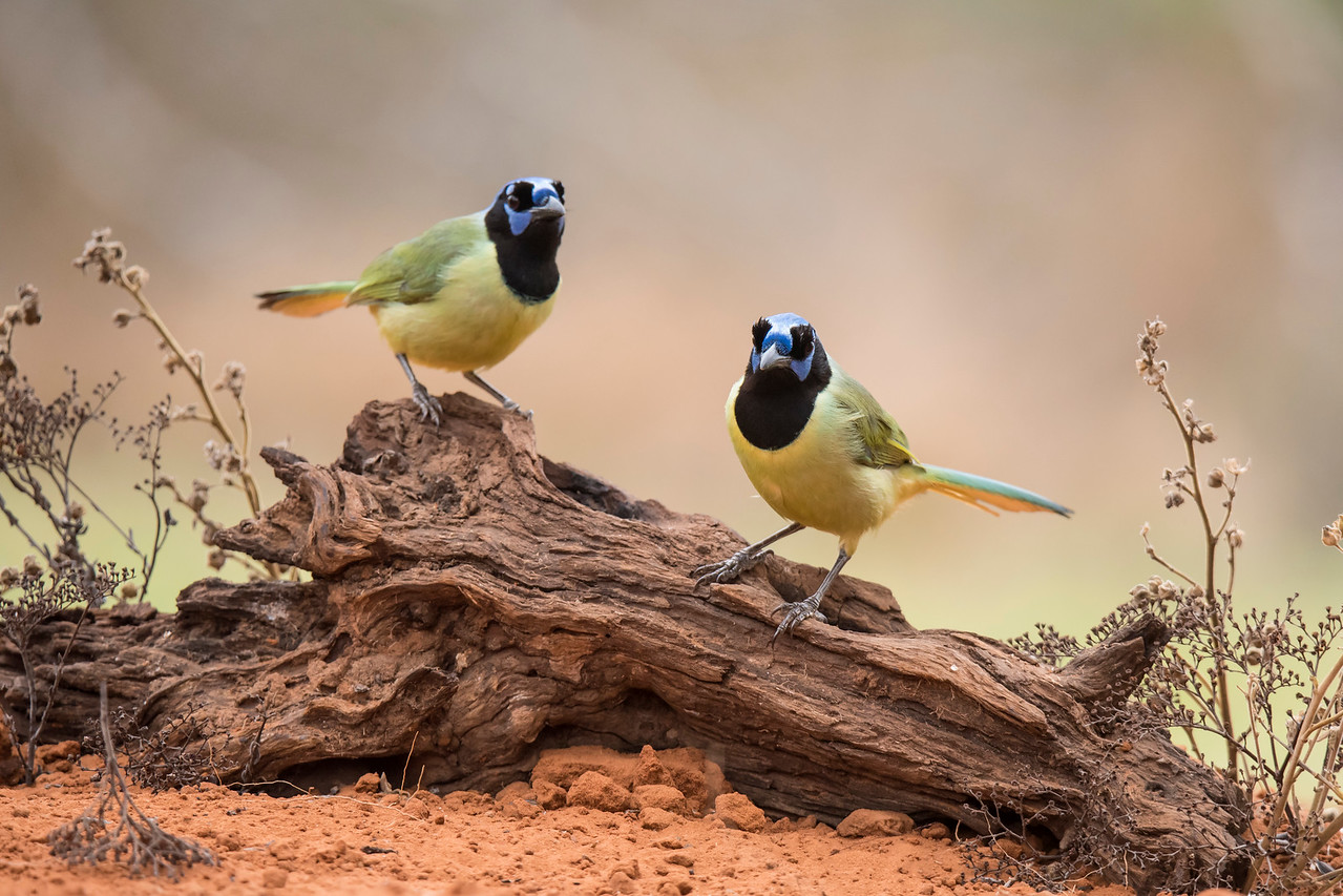 These two Green Jays seemed comfortable being near each other.  It makes me wonder if they were a mated pair.