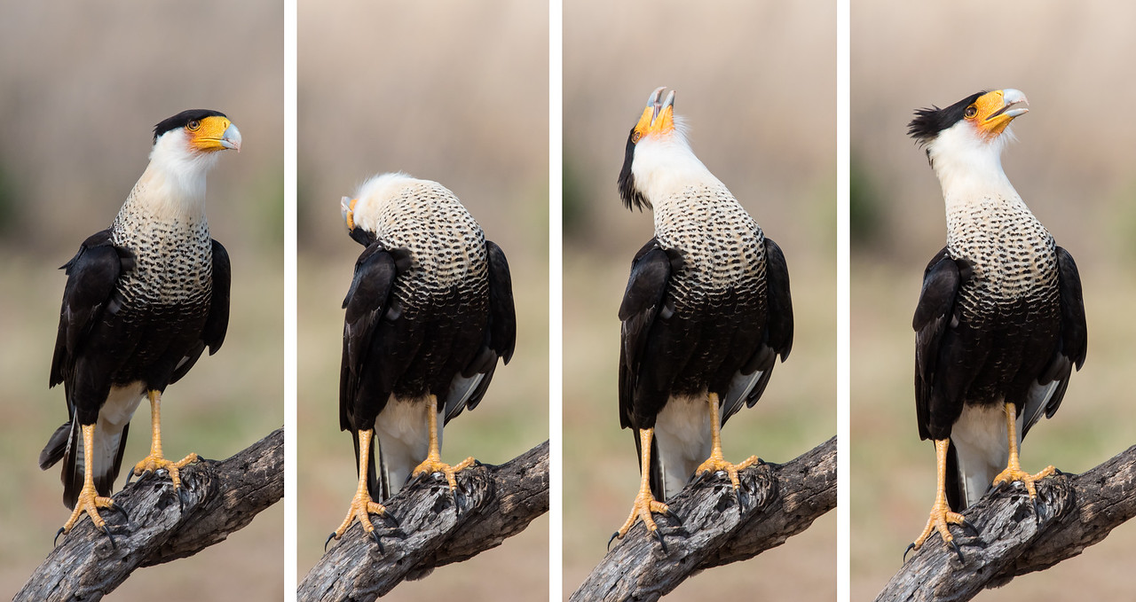 I took this series of shots showing an adult Caracara in various stages of performing a head throw.