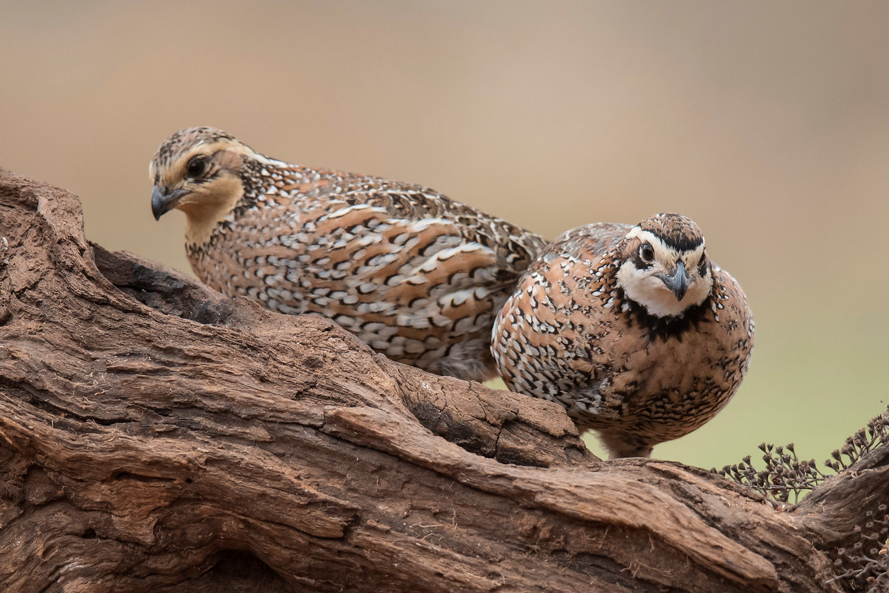 During nesting season, male and female Bobwhite share parenting duties.  They build a nest together; both of them incubate the 12 to 16 eggs, and both take responsibility for watching over the chicks after they hatch.