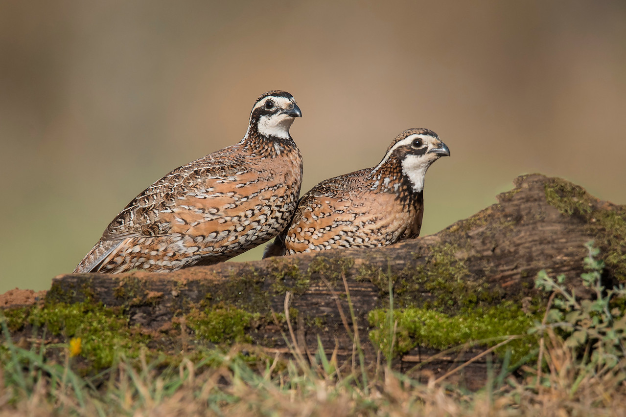 Bobwhite are 10 inches long with a wingspan of 14 to 16 inches.  In the United States, they live year-round in the southeastern states.  Their range extends to the eastern edge of New Mexico and to the southern parts of Iowa.