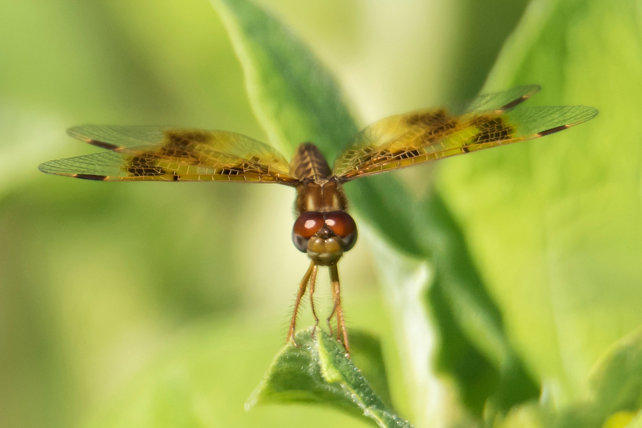 Usually I like to photograph dragonflies from the top; it's easier to get the whole insect in focus.  However, this angle is also interesting.  This is an Eastern Amberwing and the photo was taken at Silverwood Park near our office in New Brighton, MN.  This is a small dragonfly, only 0.9 inches long.
