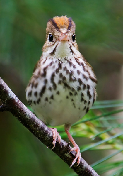 The Ovenbird is also a warbler.  We have lots of them in our woods; we hear their teacher-teacher-teacher call from many locations.  This is one of my favorite bird photos; the look on its face is so amusing.  It was taken in Nova Scotia a few years ago.