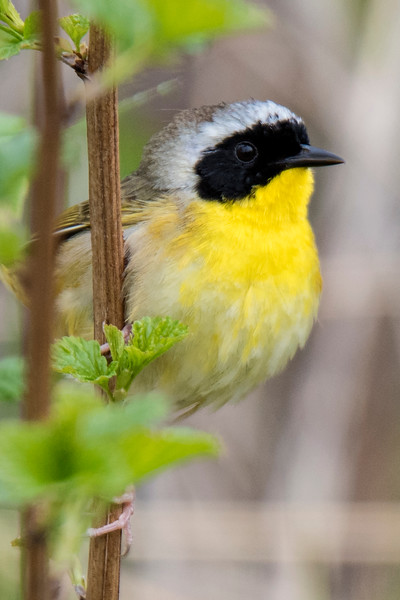 In summer, the Common Yellowthroat is found over most of Canada and the United States.  Most warblers like to nest in wooded areas, but the Yellowthroat prefers to nest in marshes.  So it is found wherever there is a patch of cattails or reeds.  The black mask confirms this is a male.  It also has a distinctive call that sounds like wichity-wichity-wichity.