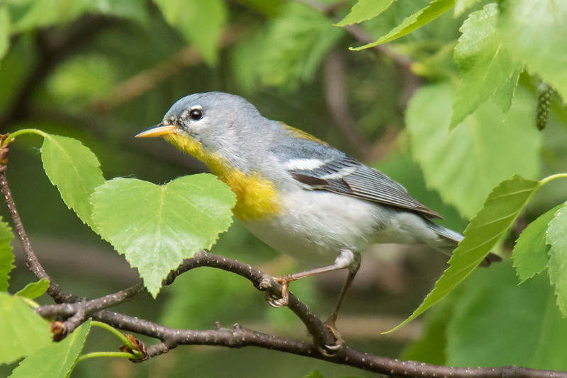 "Most birds in the Warbler family have the word ""warbler"" in their names.  Here are a few that don't.  <br /> <br /> The Northern Parula (pronounced PAIR-oo-la), at 4¼ inches long, is one of our smallest warblers.  Most other warblers are 4¾ to 5½ inches long.  The Northern Parula is often hard to see because it tends to stay in the tree tops.  It does sing a lot, however.  Its buzzy, rising, trill of a song is so unique that you can usually recognize it after hearing it a few times."