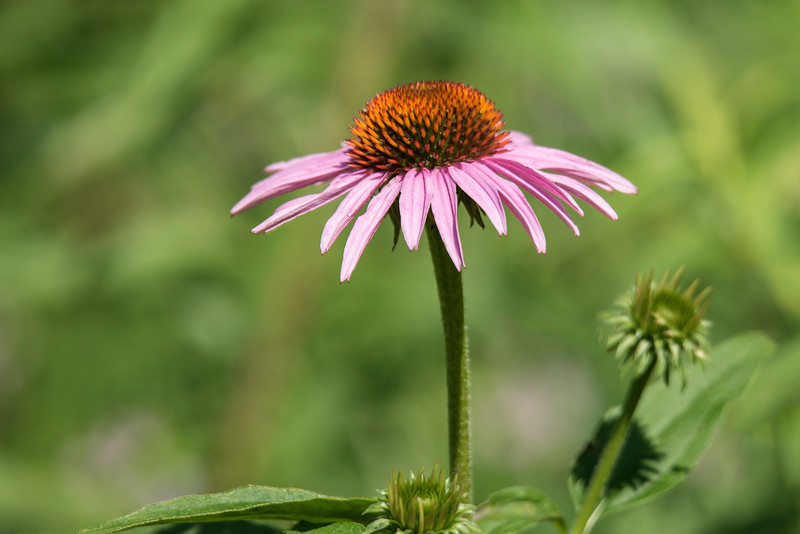 Purple Coneflower has large showy blossoms that are 3 to 5 inches across.  Goldfinches seem to really like the seeds of this flower.