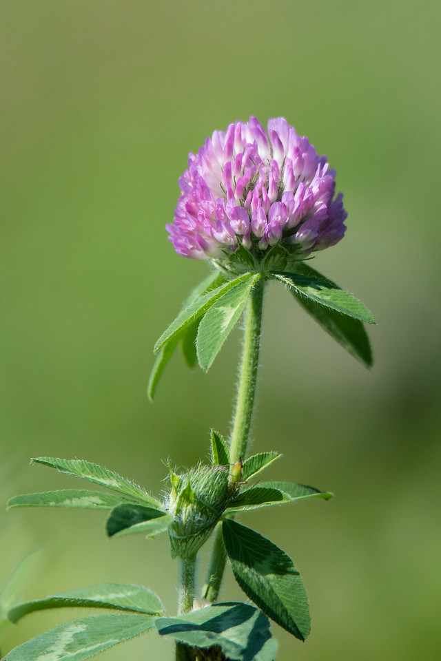 Red Clover is a familiar roadside flower.  It is a native of Europe and was introduced to the United States as a hay and pasture crop.  It escaped into the wild and is now well established.  The flower head is made up of 50 to 100 small flowers.  Bees are the main pollinators of Red Clover.