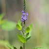 This year we found a few Hoary Vervain plants growing in our wildflower garden.  They can be from 1 to 3 feet tall.  The purple flowers open from the bottom up.