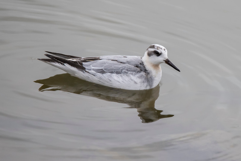 My birding friends will appreciate this photo of a Red Phalarope.  It's a very rare bird here in Minnesota and I had never seen one before (life bird #856).  It showed up at the water treatment plant in Cook, Minnesota, and stayed around long enough for many Minnesota birders to see it.  This bird is in non-breeding plumage but you can still see a little red on its throat.