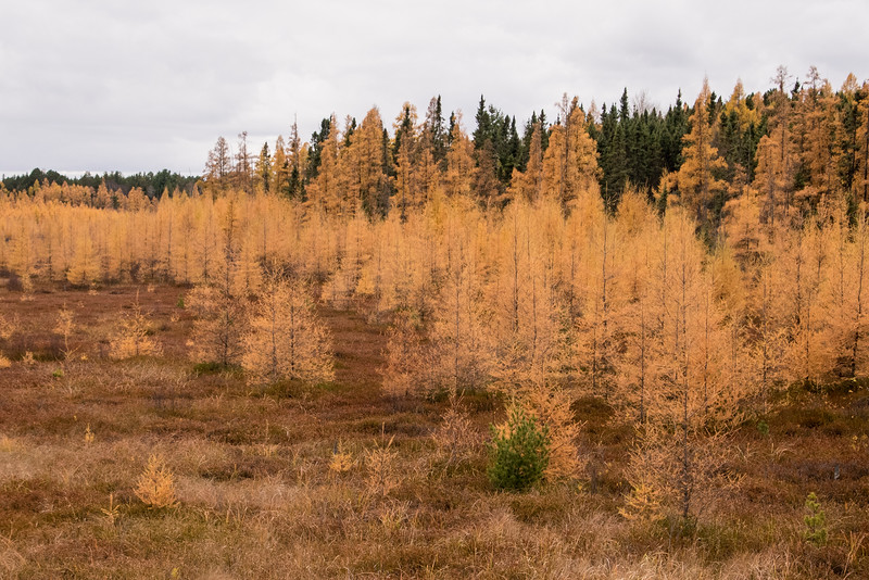 At first glance, this might look like a group of live evergreen trees in the background and another group of dead ones in front.  But all the golden colored trees are Tamaracks, a species of evergreen tree that loses its needles each fall.  So here in Minnesota, in addition to the spectacular fall colors from our deciduous trees, we are also treated to a golden glow from our Tamaracks.