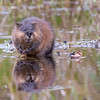 We have a small pond next to our driveway and a pair of Muskrats look like they are ready to spend the winter there.  They built two of their half-dome mud and stick homes in the pond.  This one is eating some kind of root from a pond plant.