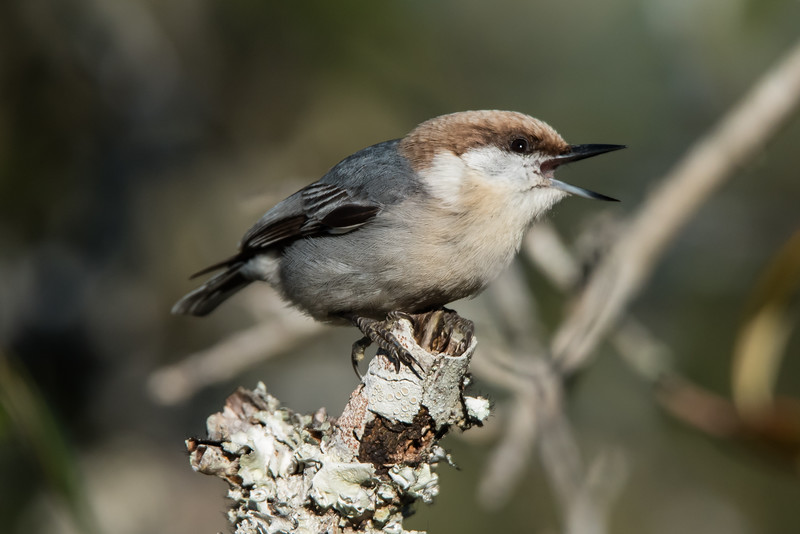 This cute little (4½ inch) bird is a Brown-headed Nuthatch.  It's found year-round in the southeastern states.  Open pine forests are its preferred habitat.  Small groups of them often forage in the tree tops.  My first clue that they are present is usually when I hear their call which sounds like a rubber squeaky toy.