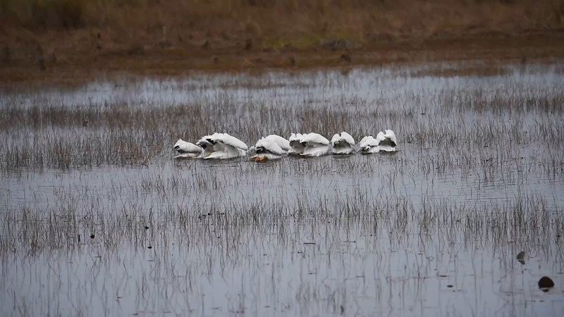 Here's a short video showing how the White Pelicans feed.  Click on the small camera icon in the lower left corner.