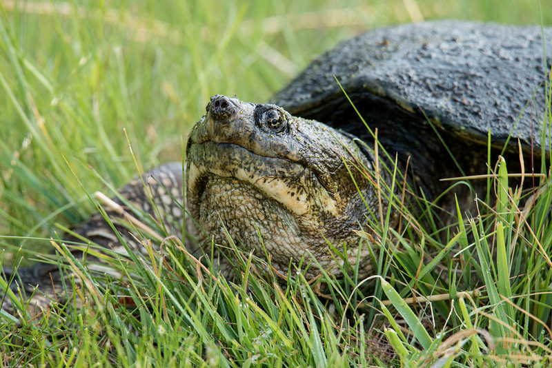 Here's a close-up look at a Snapping Turtle taken at Silverwood Park.