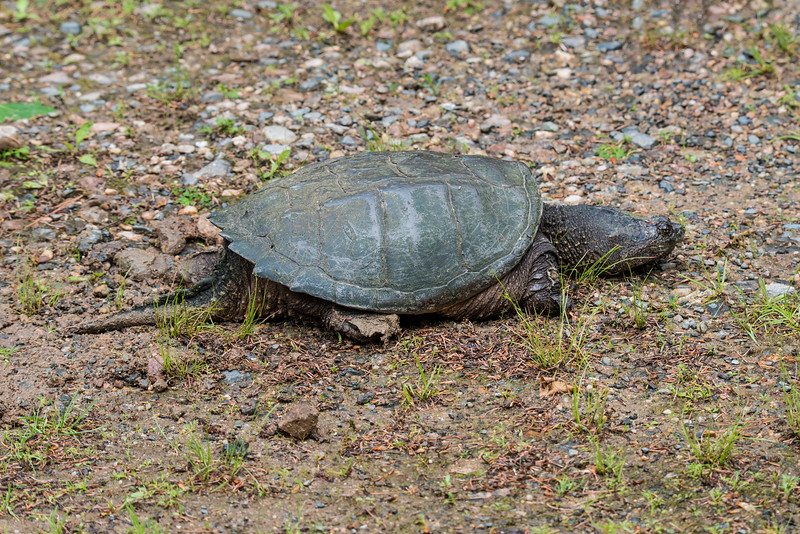 Spring time in northern Minnesota brings Snapping Turtles out of the water.  They are trying to find a place to lay their eggs.  We saw this one along our driveway as we were leaving.  It had already started to dig a hole but it seemed to be giving up.  Our land is very rocky and the turtles prefer a looser soil so it's easier to dig a deep hole.