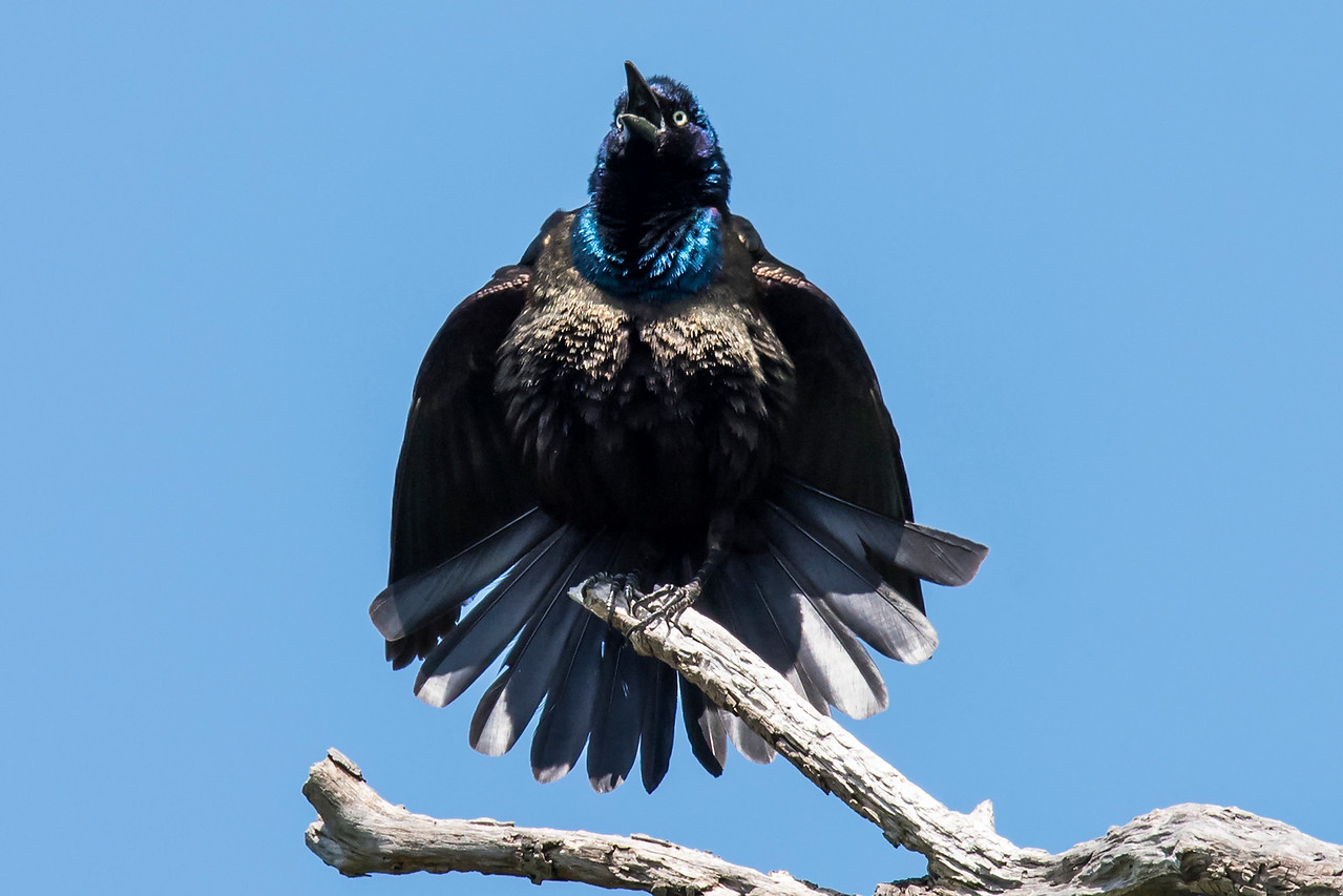 Here's another picture from Silverwood Park.  This Common Grackle was doing a territorial display which made him look like he was going to explode.