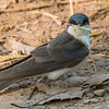 I sell my note cards at Silverwood Park which is right near our office in the Twin Cities.  The park is also a good place to take nature photos.  This spring, a Tree Swallow was gathering nesting material.